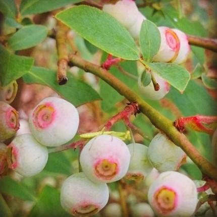 ブルーベリーの樹