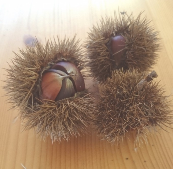 果樹 栗の樹